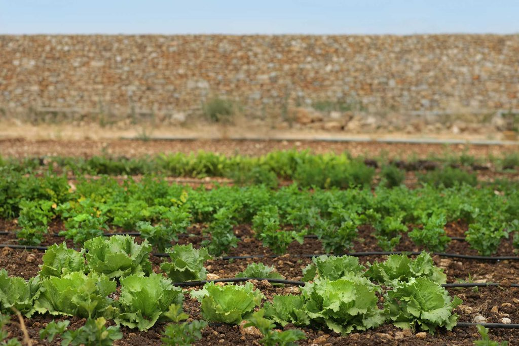 Masseria Ogliastro, our organic farm 02